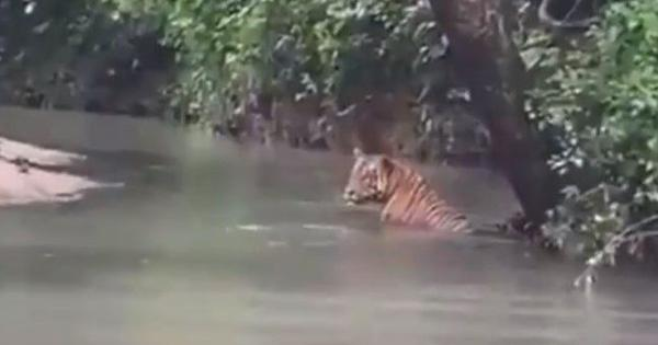 Caught on camera: Tiger spotted cooling off in  the water at Pench reserve in Madhya Pradesh