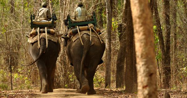 In Madhya Pradesh, the absence of captive elephants is hurting tiger conservation