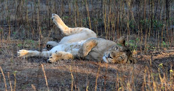 Gujarat: Three Asiatic lion cubs crushed under train in Gir forest