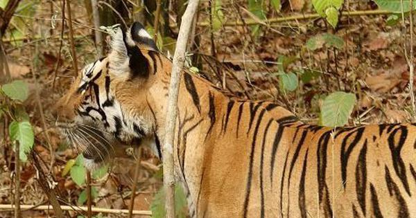 Maharashtra: Injured tigress dies after being tranquillised during rescue operation in Tipeshwar