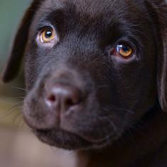 Study finds that chocolate Labradors die earlier than yellow or black ones
