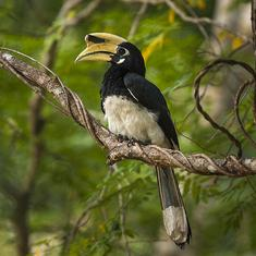 An Adivasi community in Kerala has united to save the region's dwindling hornbill population