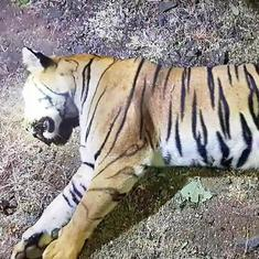 Avni killing: One of two missing cubs captured, sent for rehabilitation