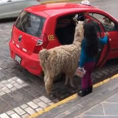 Watch: This alpaca getting into a taxi like it's no big deal has the internet enthralled