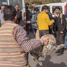 Leopard cub strays into Shimla court's parking lot, taken to rescue centre