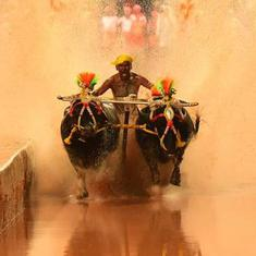 Karnataka's kambala races are again dividing participants and animal rights activists