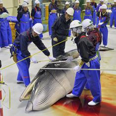 Japan to quit International Whaling Commission, resume commercial hunts from July 2019