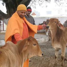 Hindutva paranoia about cow slaughter has given India a stray cattle problem that's here to stay