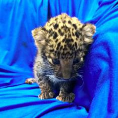Tamil Nadu: Leopard cub seized from a passenger at Chennai airport