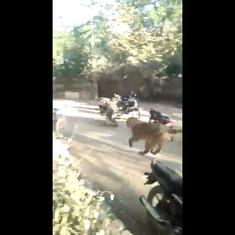 Watch: Lioness charges through village in Gujarat's Porbandar, injures two