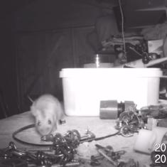 Watch: This elderly man always found his shed tidied up. Then he discovered a mouse was behind it