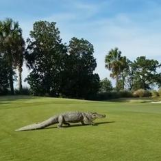 Watch: Giant nine-foot alligator interrupts a game at Georgia golf course