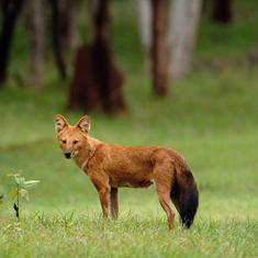 As India's dholes face decline, scientists say more research is needed to frame conservation plans