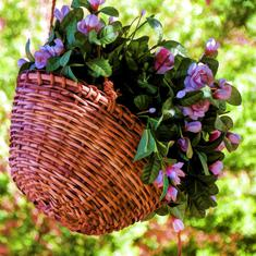 High life: Hanging baskets are the perfect way to bring nature back into India's shrinking homes