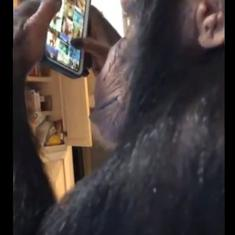 Watch: This chimpanzee browses through Instagram and looks at his own pictures and videos