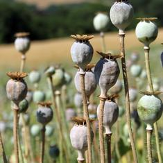 In Arunachal Pradesh, illegal opium cultivation is silently ruining lives and lands