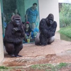 Watch: This hilarious video shows gorillas behaving just like humans while trying to escape the rain
