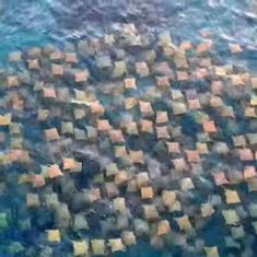 Watch: Stunning drone footage captures school of stingrays off the coast of Australia