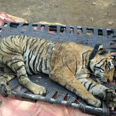 Heatstroke, tumour probable causes of tiger's death in Sariska, says initial autopsy report