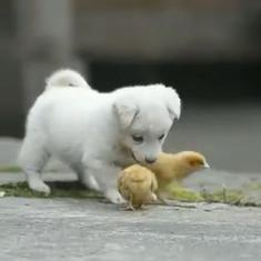 Watch: This adorable puppy playing with little chicks is melting hearts all round