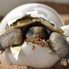 Watch: A newborn tortoise, barely out of its shell, takes its first steps on earth