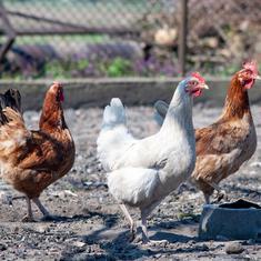 Bird flu: Food regulator asks consumers to avoid eating undercooked chicken, half-boiled eggs