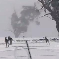 Watch: Kangaroos hopping through the snow in Australia is not something you see every day