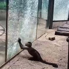 Watch: Clever monkey attempts to stage a zoo-break, hits enclosure glass repeatedly with sharp stone