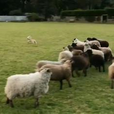 Watch: Nelson, the world's worst sheepdog is really just stuck running around in circles