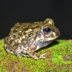 For the first time, a new frog has been discovered in Jharkhand and Bihar region