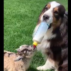 Watch: This dog is an expert at feeding babies, especially this baby goat