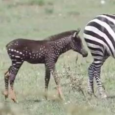 Watch: A rare polka-dotted zebra has been spotted in Kenya