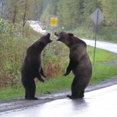 Watch: Canadian woman's video of two grizzly bears fighting in the middle of the road goes viral