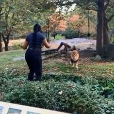 Watch: A woman entered a lion's enclosure in New York's Bronx Zoo. The animal didn't look impressed