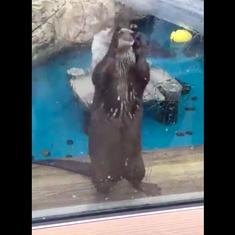 Watch: What exactly is this otter doing with this ice cube?
