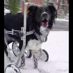 Watch: This 'wobbly' dog is unstoppable on his first snow day