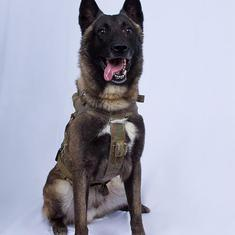 Paw-n of war: Military dogs are honoured as heroes, but given no protections under law