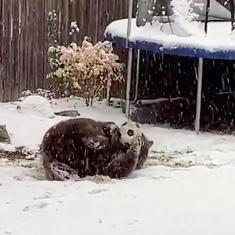 Caught on camera: A bear rolling around with an old football in a snowy backyard