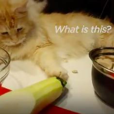Watch how these cats incessantly interrupt their owner's cooking