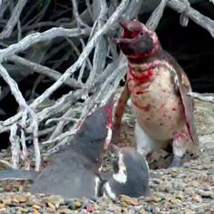 Watch: A violent, bloody fight ensued when this penguin saw his mate with another male bird