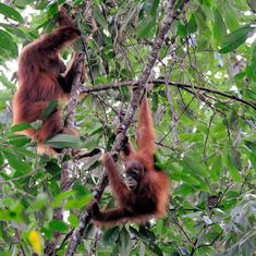 The chocolate you love may be killing endangered orangutans in Sumatra