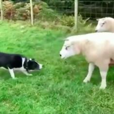 Watch: This shepherd dog was put to an intense test, and passed with flying colours