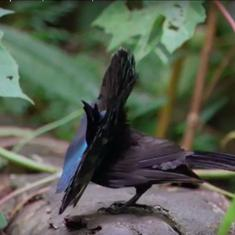 Watch: The spectacular mating dance being practised by the manakin (and other courtship rituals)