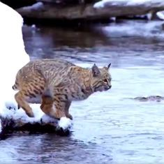 Watch: Bobcat crosses a river in a single, perfect leap