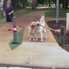 Watch: Two dogs are attempting to carry a long stick across park barriers. Will they succeed?
