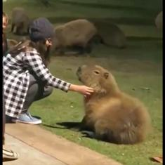 Watch: Even the world's largest rodent is enchanted by a comforting belly rub