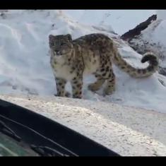 Watch this rare, close-up sighting of the elegant snow leopard in Spiti Valley, Himachal Pradesh