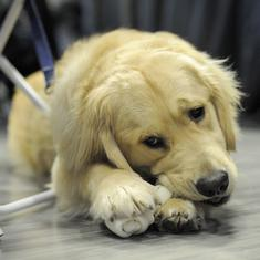 Can the US presidential candidates' attitudes towards dogs predict their success?