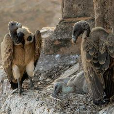 How preparations for Madhya Pradesh's tourism festival drove down vulture population in this town