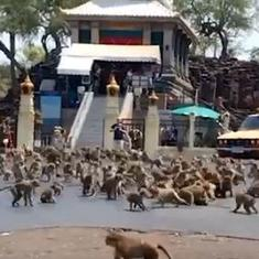 Watch: Monkeys swarm Thailand street for food after tourists stay away owing to COVID-19